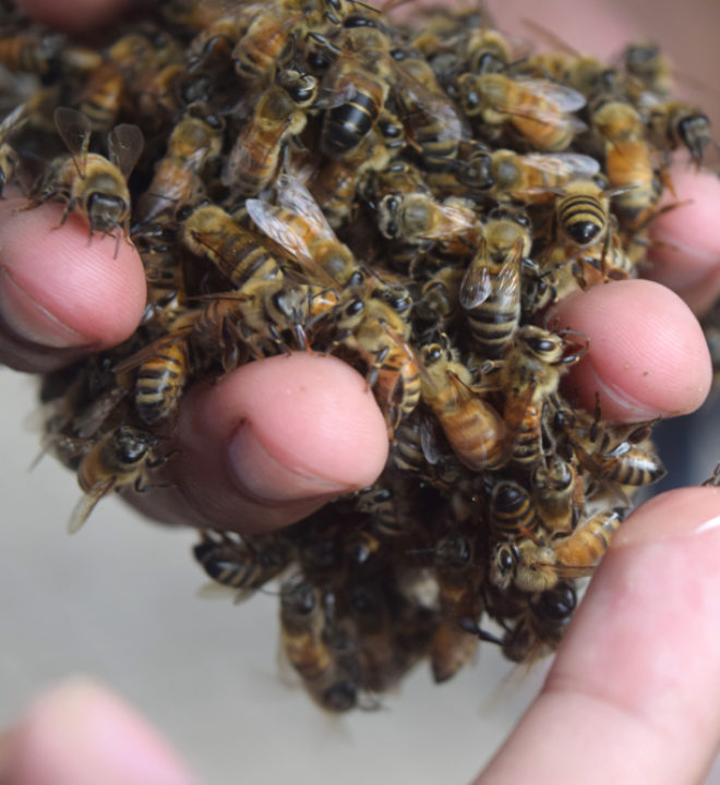 propolis bee info bieneninfo. Black Bedroom Furniture Sets. Home Design Ideas