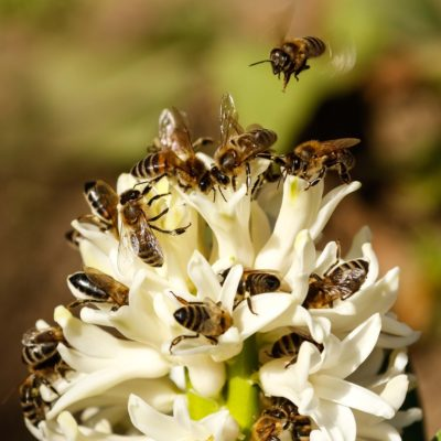 Trachtpflanzen, Bienen