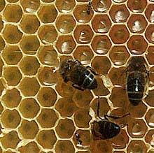 Wachsdruesen der Honigbiene