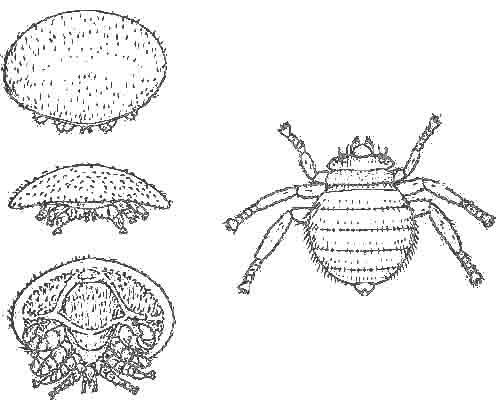 Varroa-Stadien