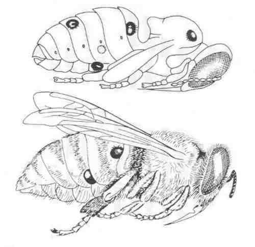 varroa-auf-larve