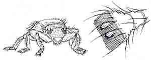 Bienenlaus