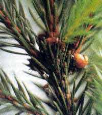 Waldhonig - Pflanzensaftsaugende Läuse
