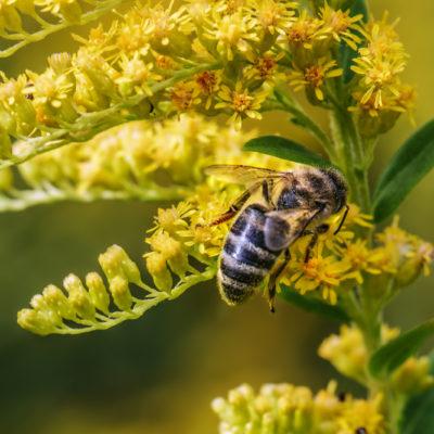 Honig Mimose