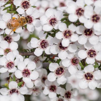 Biene auf Menukablüte, Manukahonig